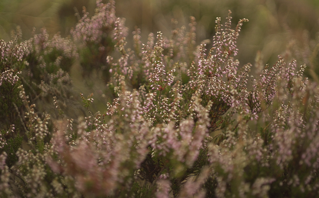 A field full of heather