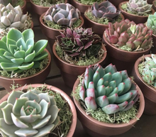 Load image into Gallery viewer, Succulent Party Favors - Includes Terra Cotta Pot