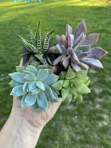 4 Pack of Succulents