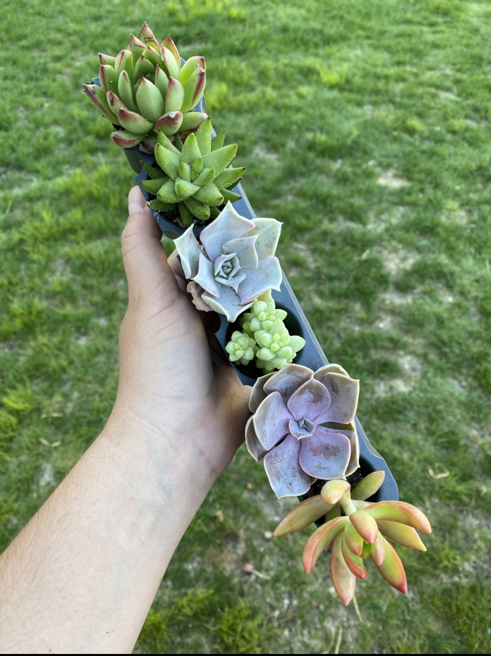 6 Pack of Succulents
