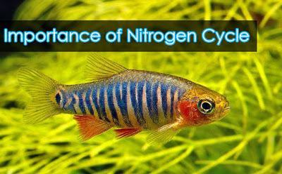 BASIC: NITROGEN CYCLE AND WHY IT IS IMPORTANT IN OUR AQUARIUM - East Ocean Aquatic