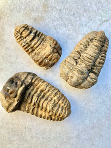 Trillobite Fossils (Without Certificate)