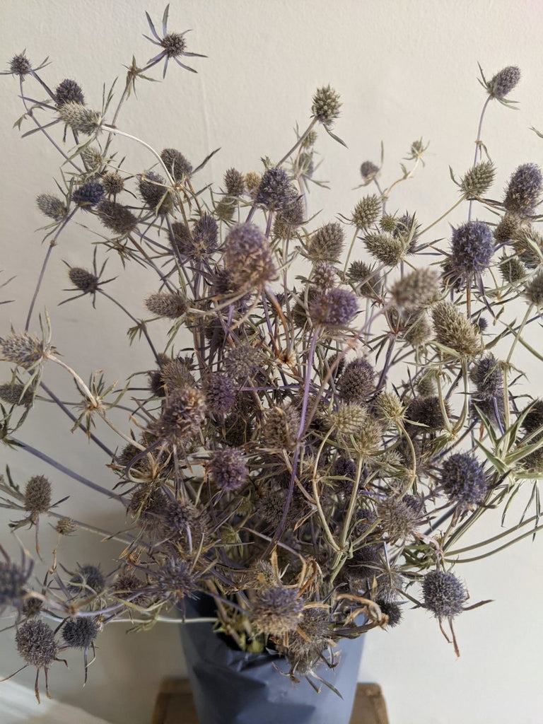 Blue Thistle Bunch - The Cove