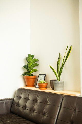 indoor houseplants in pots behind sofa