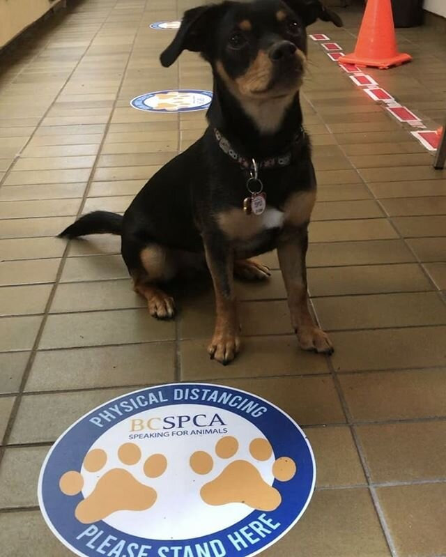 Puppy approved! 🐾 Sneeze guards. Floor Decals. Signage. This puppy is following the rules! We believe in making physical distance signage without the anxiety factor. Paw Prints make everything better!  @bcspca  #floordecals #sneezeguard #sign #signage #dogs #cats #paws #spca #animals #safe #covid #covid19  #reopening #keepitsafe #puppy #designedbyus #printed #install #onestopshop