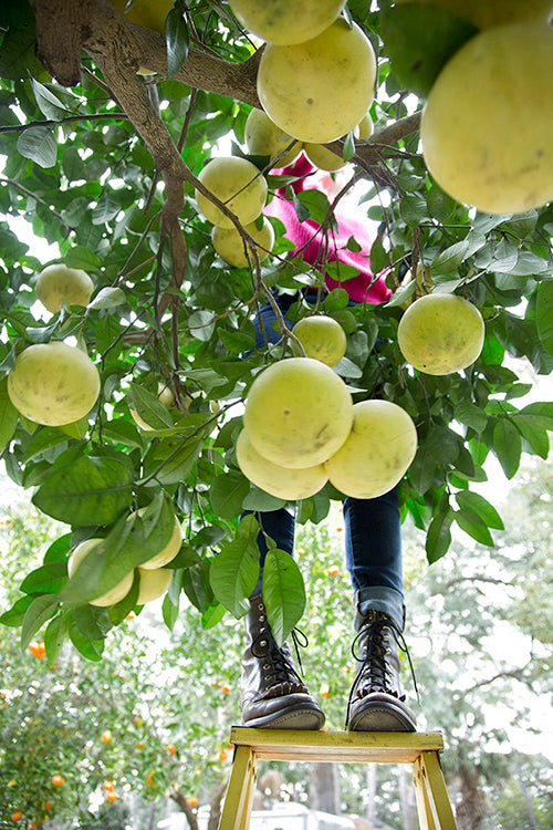 picking grapefruit