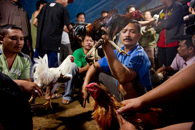 Rooster fight, Bali, Indonesia