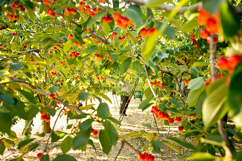 Cherry orchard, Provence, France