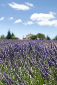 Lavender Field, Provence, France, 2008