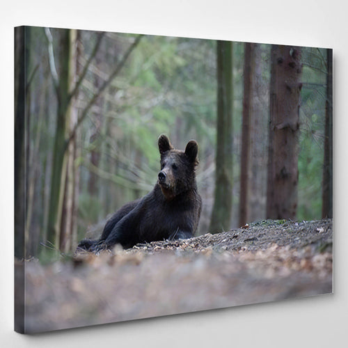 Young Broown Bear Ursus Arctos Looking 1 - Bear Animals Canvas Art Wall Decor