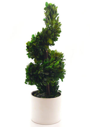 Large Preserved Spiral Boxwood In White Pot