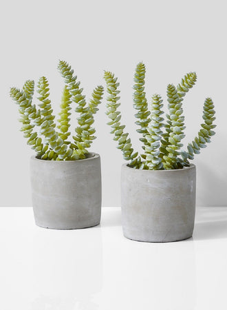 Serene Spaces Living Set of 2 String of Buttons Succulent in Grey Cement Pot