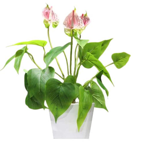 anthurium en pot