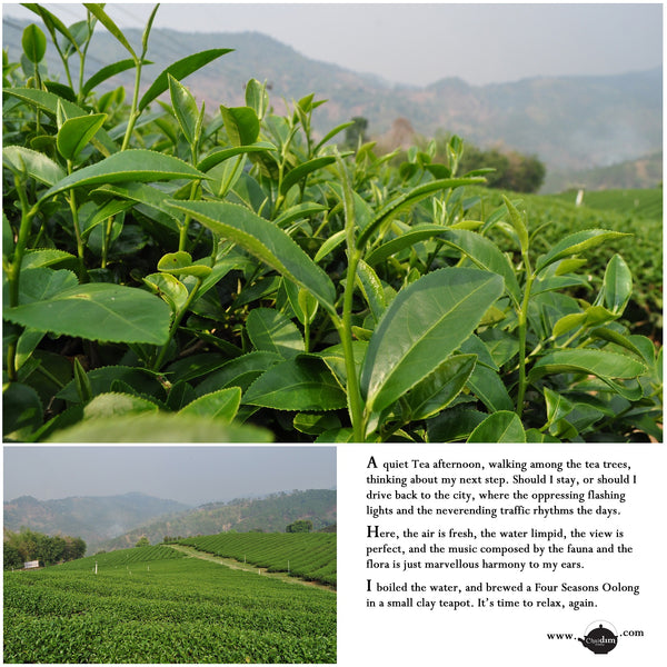 Thailand Oolong Tea Fields | Chaidim Premium Organic Oolong Tea from Thailand
