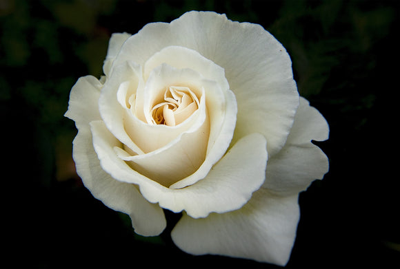Gift of Care and Compassion - The White Rose Program