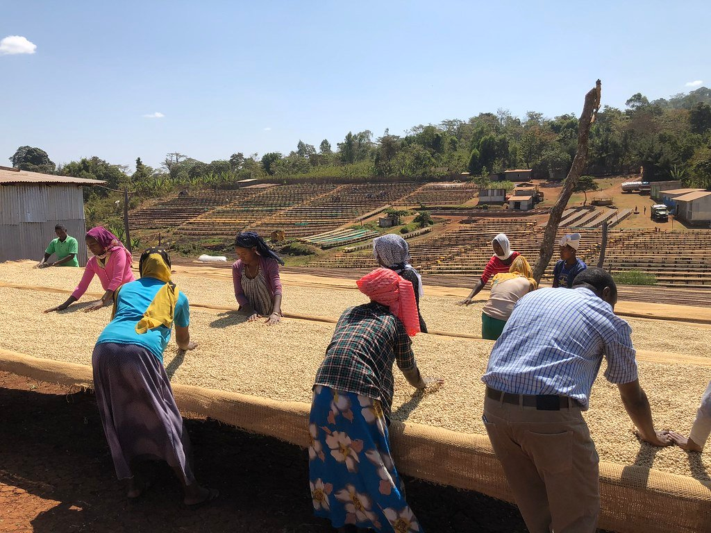 Ethiopian coffee growers sorting beans. | Cascadia Coffee Roasters