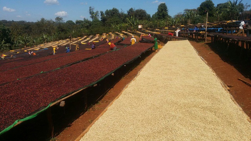 Ethiopian coffee growers sorting tables | Cascadia Coffee Roasters