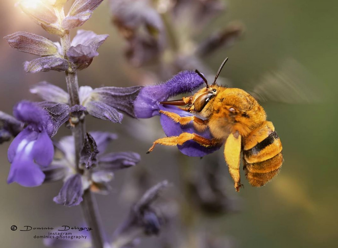 Bee Feature : Teddy Bear Bee