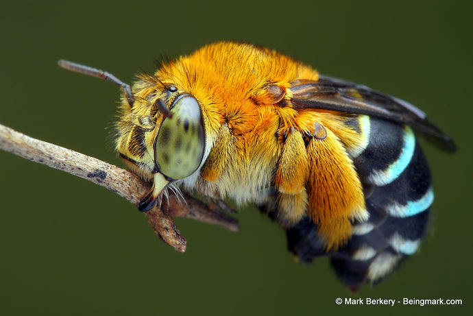 Bee Feature: The Blue Banded Bee