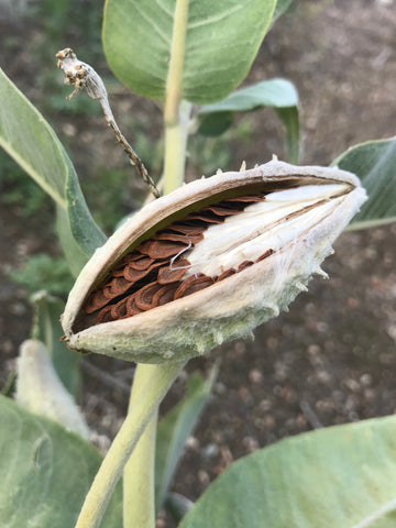 Milkweed pod with mature (all brown) seeds but before fluff has expanded.