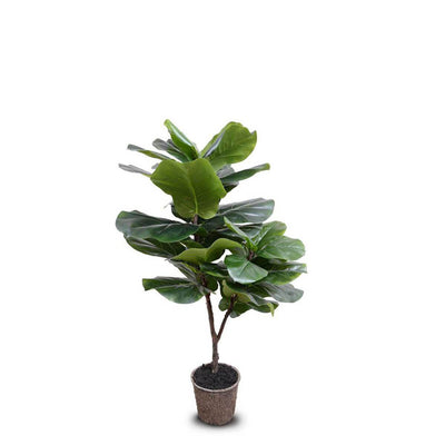 The Fiddle Leaf Fig Tree is a realistically looking fake tree in a mache pot and 50 inches tall.