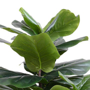 Closeup of the realistic, large faux fiddle leaf fig leaves with wired branches.