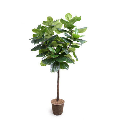The Fiddle Leaf Fig Tree is a realistically looking fake tree in a mache pot and is 7 feet 6 inches tall.