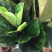 Closeup of the leaves on the artificial fiddle fig leaf plant with wired, shapeable branches.