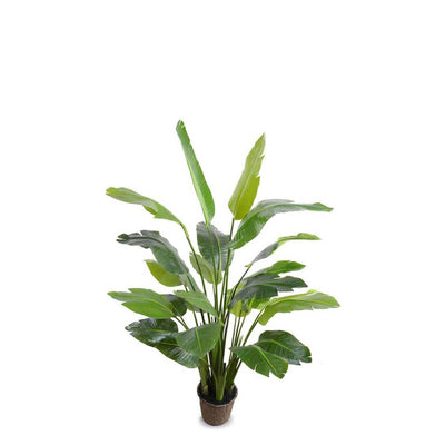 The Traveler's Palm Tree has large, dark green leaves, a mache pot, and is 66 inch tall.