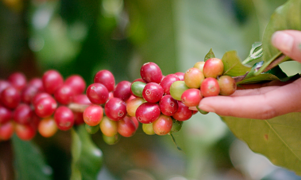 How Coffee Farmers are being left out of the 'local' coffee movement around the world (Part 2)