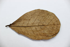 20 Indian Almond (Catappa Leaves) - Nano - Podvodoy Aquatics