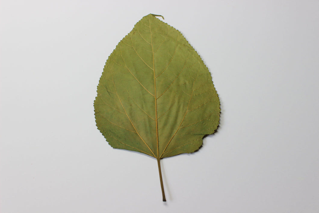 20 Mulberry Leaves - Podvodoy Aquatics