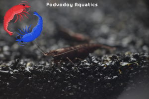 Black rose shrimp | Podvodoy Aquatics