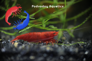 Bloody Mary shrimp | Podvodoy Aquatics