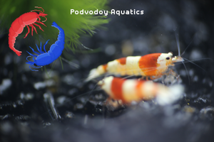Crystal red shrimp a-s grade | Podvodoy Aquatics