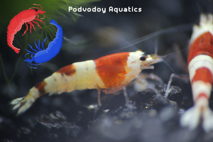 Crystal red shrimp | Podvodoy Aquatics