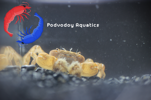Fresh water Pom Pom crab | Podvodoy Aquatics