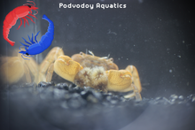 Load image into Gallery viewer, Pom Pom crab | Podvodoy Aquatics