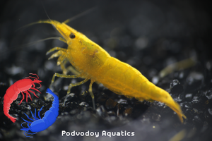 Yellow shrimp | Podvodoy Aquatics