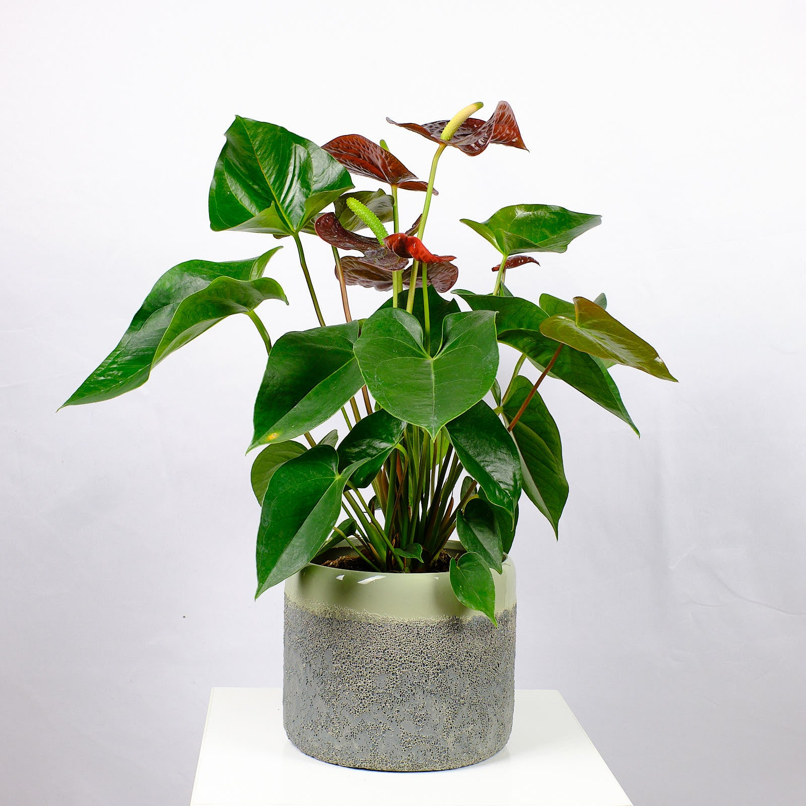 Anthurium Otazu (Flamingoblume)