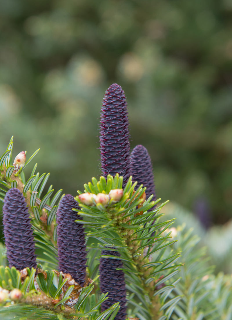 Essential Oil Balsam Fir (Abies balsamea)