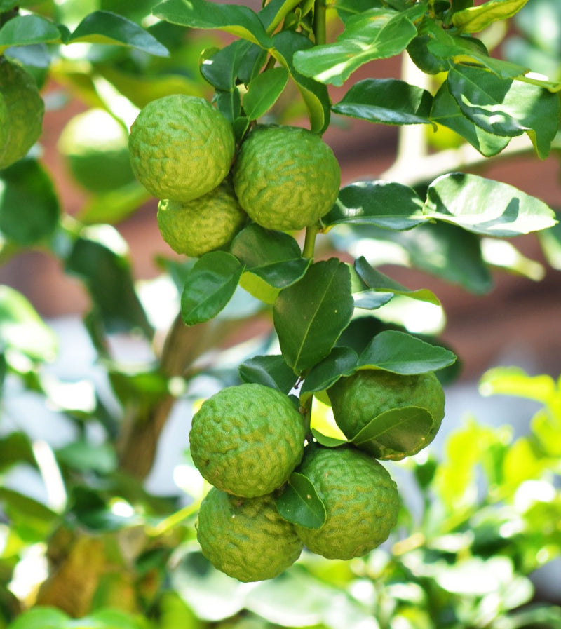 Essential Oil Bergamot (Citrus bergamia)