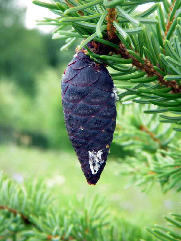 Essential Oil Black Spruce (Picea mariana)