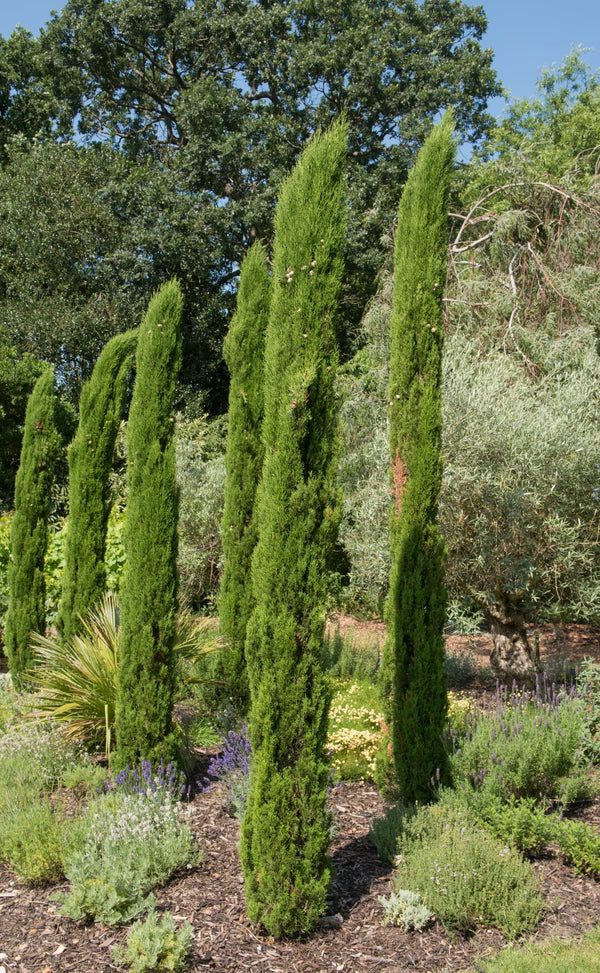 Essential Oil Cypress (Cupressus sempervirens)