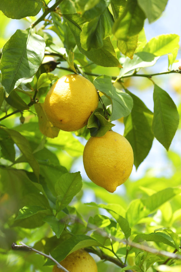 Essential Oil Lemon (Citrus limonum)