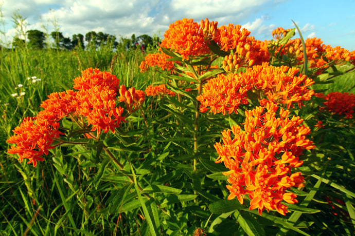 The Ultimate Guide to Butterfly Milkweed Plants