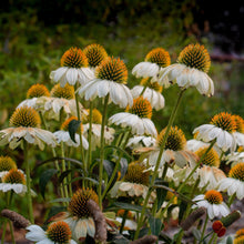 Load image into Gallery viewer, Baby White Coneflower (Echinacea)