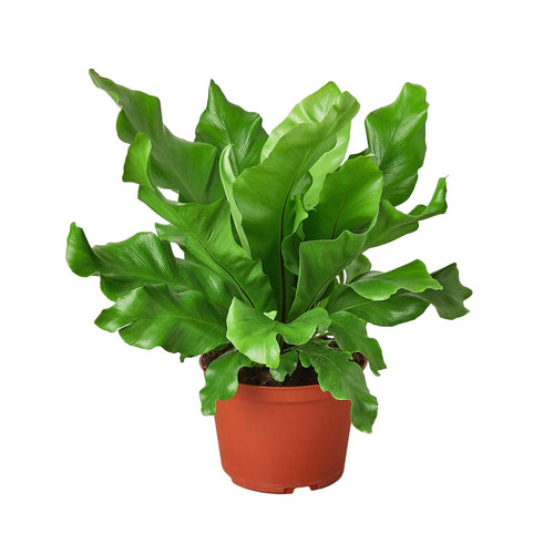 Bird's Nest Fern (Nidus)