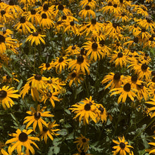 Load image into Gallery viewer, Black Eyed Susan (Rudbeckia Hirta)