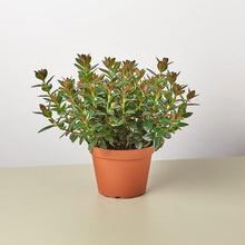 Load image into Gallery viewer, Black Goldfish Plant (Nematanthus)